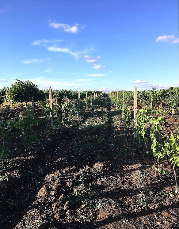 For Sale: New vine plantations with an area of 10 750 sq.m