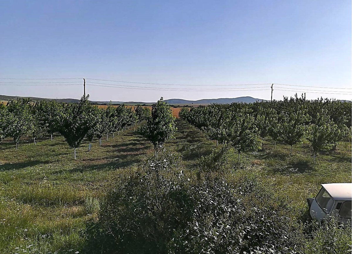 For Sale: Orchard with cherries planted in 2014